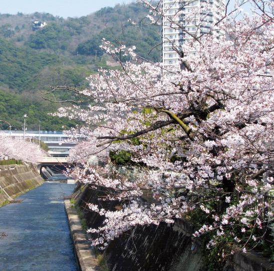 生田川沿いの桜並木