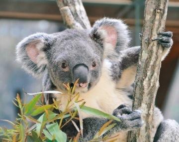 昨年9月に赤ちゃんも生まれたコアラ