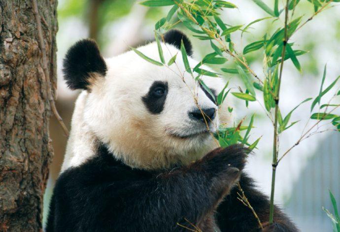 のんびりとした愛らしい仕草が人気のジャイアントパンダ