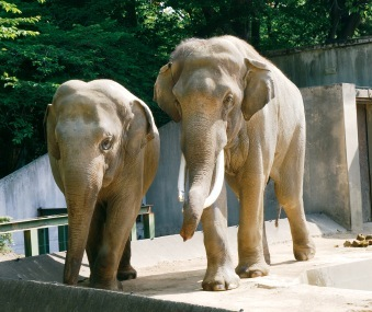 インドゾウのズゼ(左)とマック(右)