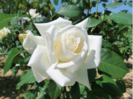 パスカリ(殿堂入りのバラ)