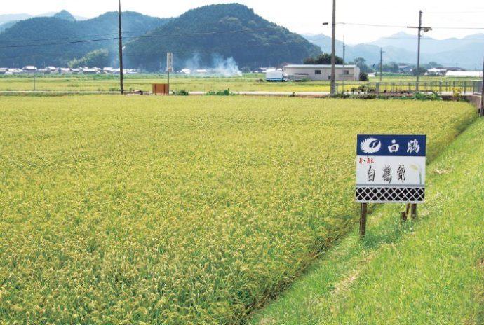 優良な酒米、山田錦の兄弟品種「白鶴錦」。 兵庫県中部より徐々に栽培エリアを広げている