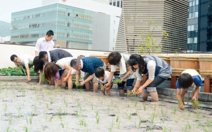 「白鶴銀座天空農園」では、銀座ビルの屋上で酒米づくりを体験できる