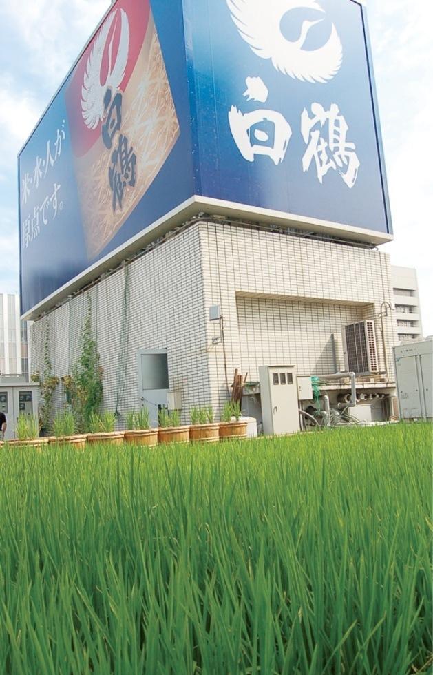 銀座の白鶴ビルディングでは酒樽での酒米栽培に始まり、 屋上を改修して白鶴錦が一俵収穫できるまでになった