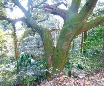 常隆寺周辺の伊勢の森は、スダジイやアカガシなどの豊かな原生林が広がる