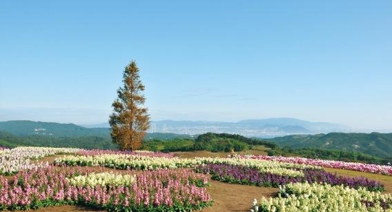 淡路島北部の丘陵地に広がる一面の花畑「あわじ花さじき」