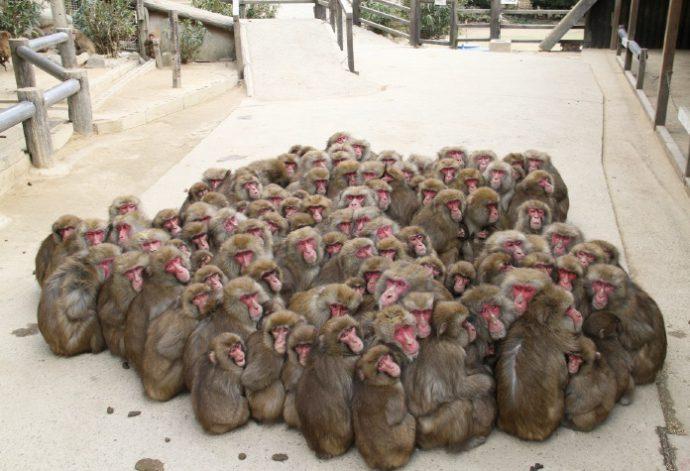 野生ザル約300頭が集まる
