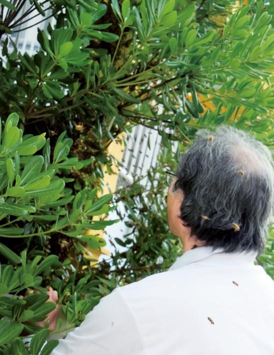 発見した分蜂を巣箱に迎え入れる、俵養蜂場の春井さん