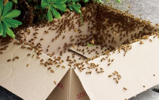 群れを段ボールに入れて、用意した新しい巣箱へと移動させる