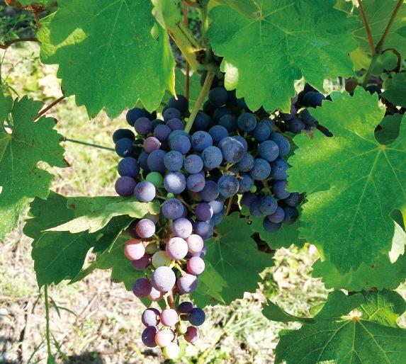 ハンガリーの気候は、良質なワインの栽培に最適