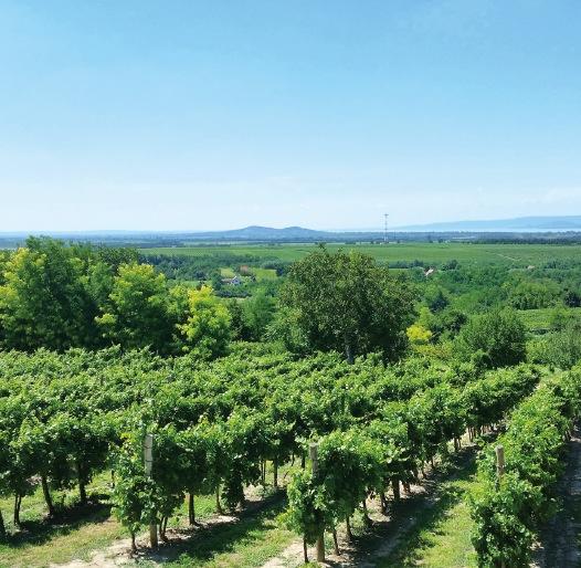 ハンガリー南西部の丘陵地に広がる、40ヘクタールの葡萄畑