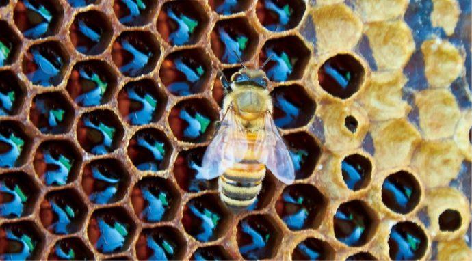 ミツバチはスプーン1杯分の蜜を集めて生涯を終える。 「ミツバチに感謝をしています」と藤井先生