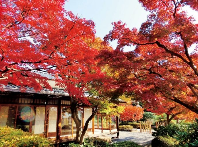 美しい和庭園では、もみじ茶会を開催