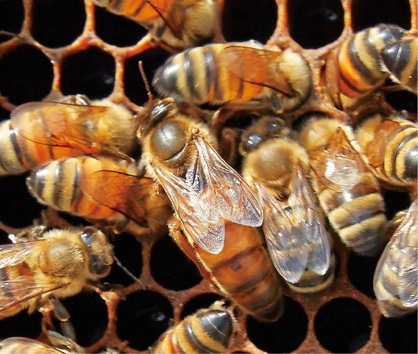 まん中の一回り大きいのが女王蜂。ミツバチはファミリー全体がひとつの生命体といえる