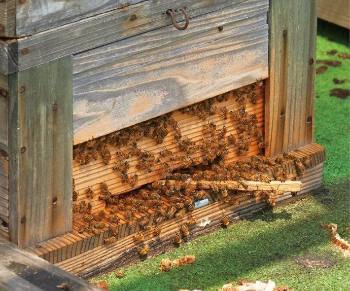 ミツバチは家畜であり、感染症や疾患を治療する獣医師が存在する
