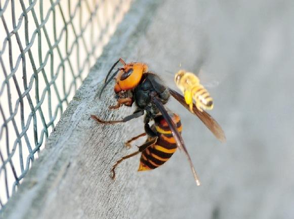 スズメバチが、肉団子にしたミツバチを抱えている。 右側のミツバチとの大きさの違いが分かる