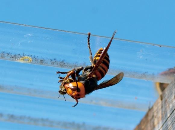 ミツバチを捕食し、肉団子にするスズメバチ。 天敵から守ってやるのも養蜂家の仕事