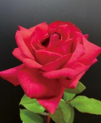 新品種のバラ「茜離宮」